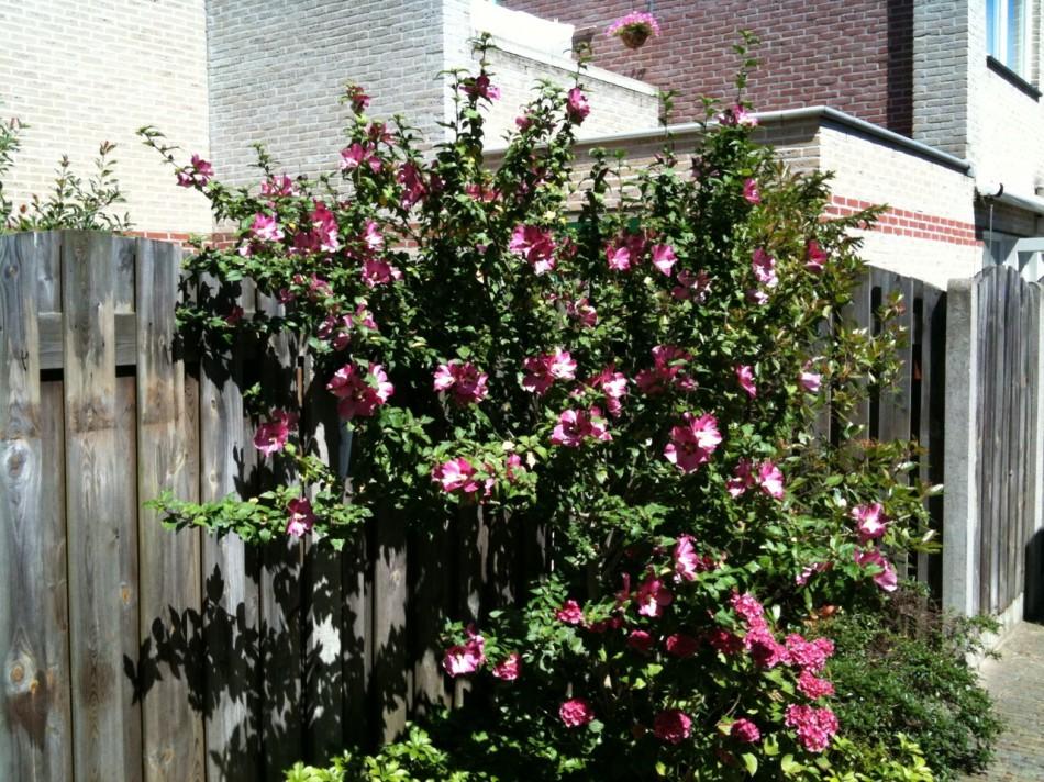 Mooie struik in de tuin eppenga blog - Riet voor struik ...